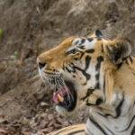 Etiopia & The Tigers